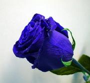 Роза FLORICH, не вянет 5 лет.Опт и розница!