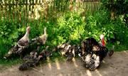 комбикорма для свиней, индюков, страусов, кроликов