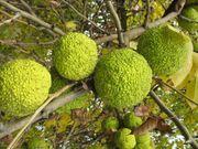 плоди маклюри (адамове яблуко)
