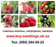 Саженцы малины,  смородины и ежевики продажа оптом по Украине