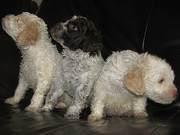 Продаются щенки Лагото Романьоло (озерная собака)
